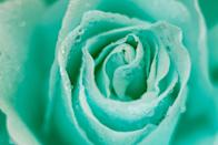 """<p>In roses, this minty green color <a href=""""https://allrosemeaning.com/mint-green-rose-meaning/#:~:text=Mint%20green%20roses%20signify%20fertility,have%20to%20mean%20a%20baby."""" rel=""""nofollow noopener"""" target=""""_blank"""" data-ylk=""""slk:means"""" class=""""link rapid-noclick-resp"""">means</a> """"cheerfulness and new beginnings."""" So the couple in your life who just became parents? Gift them a bouquet of mint roses.</p>"""