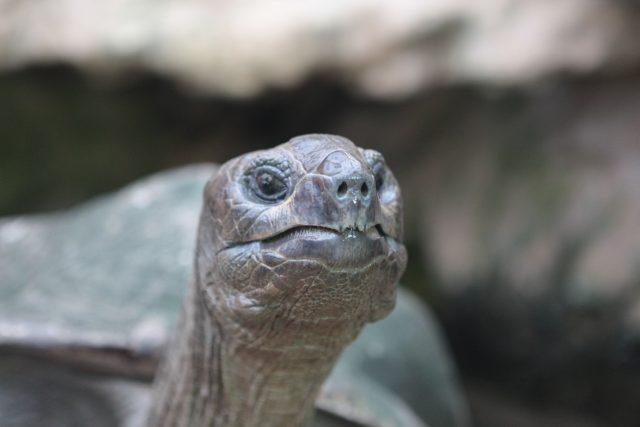 Biggie, a giant Aldabra tortoise, who is celebrating 42 years at Bristol Zoo