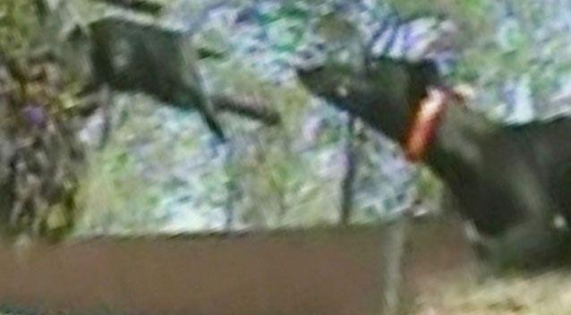 The Four Corners expose showcasing live baiting in the greyhound racing industry. Source: Four Corners.