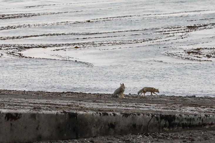South American grey foxes wander near the ferry, scavenging.