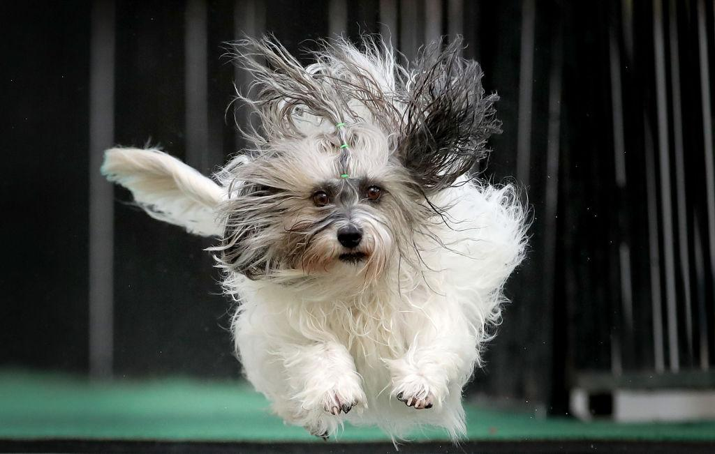 <p>A dog from Australia jumps into a pool of water as he competes in the Speed Retrieve at the 'Common Woof Games' during the 2018 Melbourne Dog Lovers Show in Melbourne, Australia. The show is hosting the first ever 'Common Woof Games' with dogs from around the world competing in 11 canine sports including basketball, discus, hurdles and barrel racing. (Scott Barbour/Getty Images) </p>