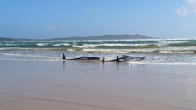 A massive rescue operation is underway to help at least 270 stranded pilot whales stranded on the west coast of Tasmania. (Photo: TASMANIA POLICE via REUTERS)