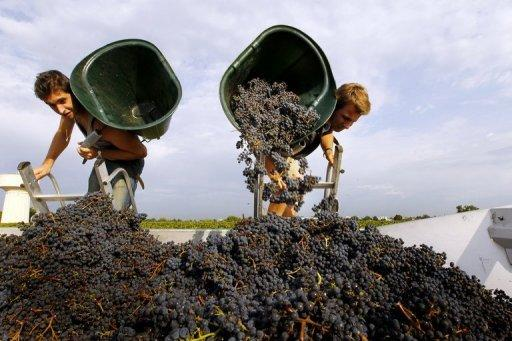 Grape pickers at work at Bordeaux grand cru vineyard Chateau Haut-Brion last August. Prices have skyrocketed over the last decade, alienating traditional customers in America and Europe in favour of rapacious demand from China's super-rich