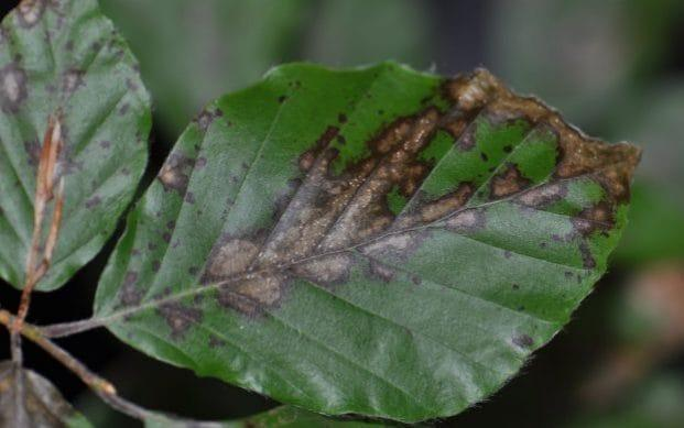 A beech tree affected by the disease