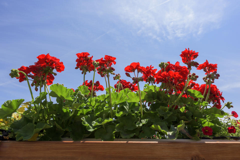 Geraniums are trying to shake off their fusty reputation, thanks to a new marketing campaign. (Getty Images)