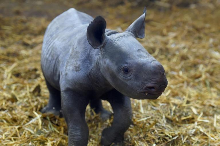 """The black rhino has three subspecies, one has recovered enough to be classified as """"near threatened"""", from """"vulnerable"""", while the other two remain critically endangered -- this calf was born in France in December"""
