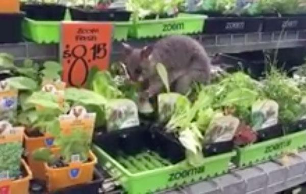A Facebook video shared by Brisbane woman Yvonne McRostie shows the animal munching on some lettuce at the Carseldine store, and unsurprisingly, the video has gone viral! Source: Facebook