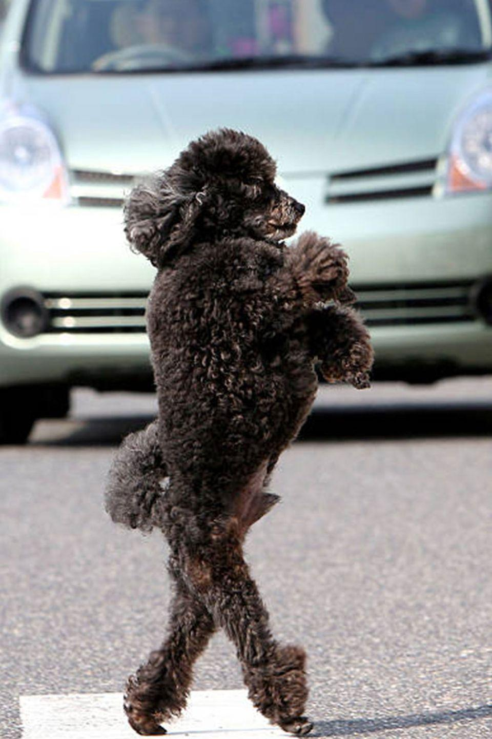 """<p>Walking down the street with that """"fresh from the groomer"""" swagger.</p>"""