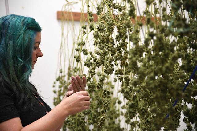 <p>Green Pearl Organics dispensary owner Nicole Salisbury inspects drying marijuana on the first day of legal recreational marijuana sales in California, Jan. 1, 2018 at the Green Pearl Organics marijuana dispensary in Desert Hot Springs, Calif. (Photo: Robyn Beck/AFP/Getty Images) </p>