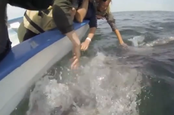 Grey whales seek affection from tourists in Mexico
