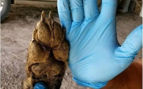 Images show the creature's paws are unusually small for a wolf - Credit: MONTANA FISH, WILDLIFE AND PARKS