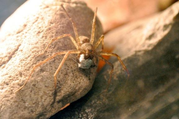 Female Spiders Judge Mates by Their Gift Wrap
