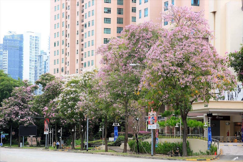 Trumpet Trees along Zion Road. Photo: Lee Jia Hwa/NParks Facebook page