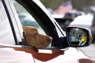Liberty, a red fox Labrador, hangs her head out of the passenger window while seated with her owner, state Rep. Glen Aldrich, R-Gilford, N.H., during an outdoor meeting of the New Hampshire House of Representatives in a parking lot, due to the COVID-19 virus outbreak, at the University of New Hampshire Wednesday, Jan. 6, 2021, in Durham, N.H. (AP Photo/Charles Krupa)