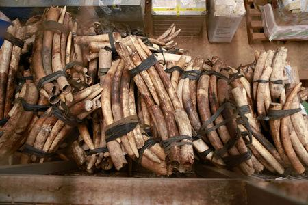 A pile of around 832 pieces of ivory weighing 2903kg (6400 pounds), which was seized by Ugandan officials in October.  The Uganda Wildlife Authority says Uganda is increasingly being used as a transit country by poachers in states such as South Sudan and the Democratic Republic of Congo. REUTERS/James Akena/File Photo