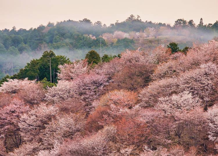 Mt. Yoshino awash with various shades of cherry blossoms. A superb view you must see at least once.