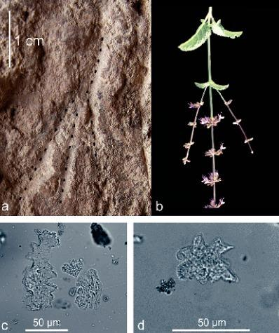Impressions of flowering stems were recently found in ancient graves in Israel b) Flowing stems of Salvia judaica c-d) Jigsaw-puzzle phytoliths indicating tissue of a dicot plant.