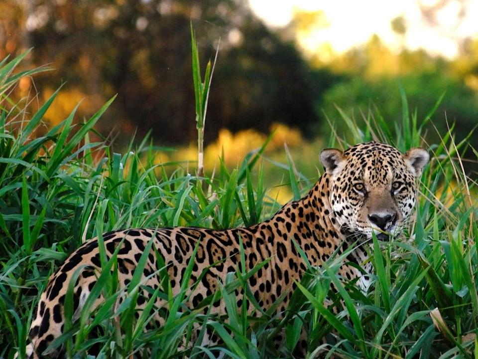 Jaguars are among the rare animals that live in the Amazon (Getty)