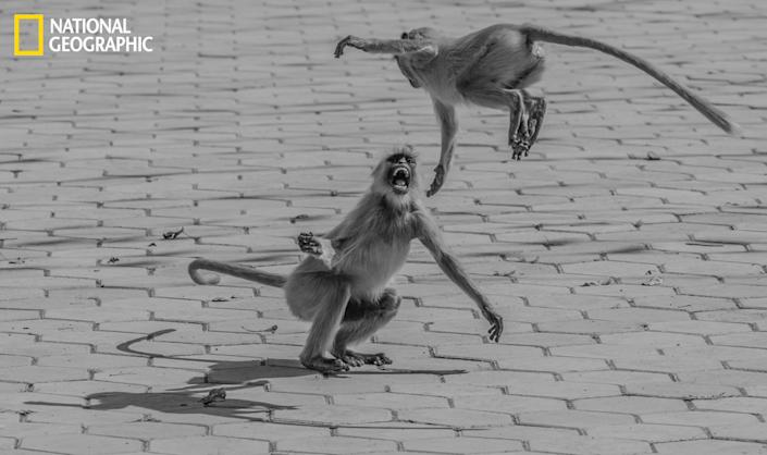 """This is a photograph of a common langur (monkey) from India. This shot portrays the anger of one langur toward another over food. (Photo and caption Courtesy Chaitanya Solanki / National Geographic Your Shot) <br> <br> <a href=""""http://ngm.nationalgeographic.com/your-shot/weekly-wrapper"""" rel=""""nofollow noopener"""" target=""""_blank"""" data-ylk=""""slk:Click here"""" class=""""link rapid-noclick-resp"""">Click here</a> for more photos from National Geographic Your Shot."""