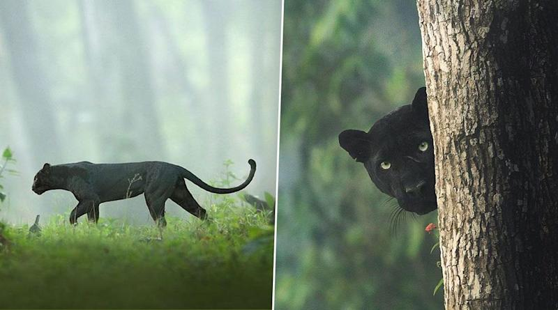 Old Pics of Rare Black Panther Photographed by Shaaz Jung From Kabini, India Go Viral!