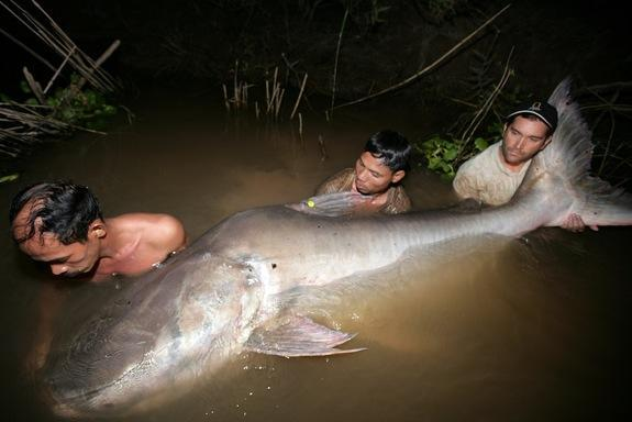 One of the largest fish in the world, the Mekong giant catfish grows to 10 feet (3 meters).