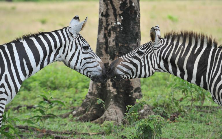 Zebras nuzzle on September 18, 2011 at Calauit Game Preserve and Wildlife Sanctuary in Calauit Island, Busuanga province, western Philippines