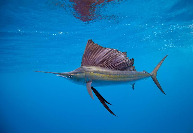 A speedy sailfish - getty