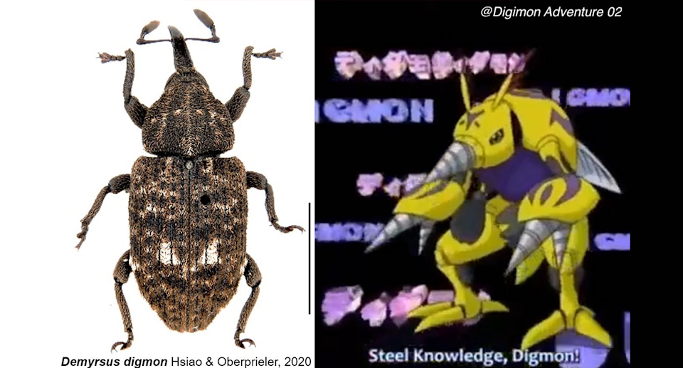 This cycad-boring weevil was named after a character in Digimon Adventure. Source: CSIRO