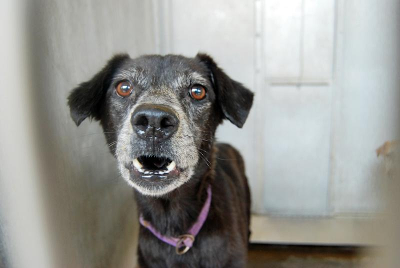 This image provided by the San Bernardino County Animal Shelter in San Bernardino, Calif., shows a dog at the shelter on Friday, July 5, 2013. The animal was one of more than 130 dogs seized from a hoarder two weeks ago. The animals had been living in one large pack for years without proper food, medical care or human interaction, officials said. They can only be released to rescue groups because of the costly and extensive medical care and behavior work they need. (AP Photo/San Bernardino County Animal Shelter, C.L. Lopez)