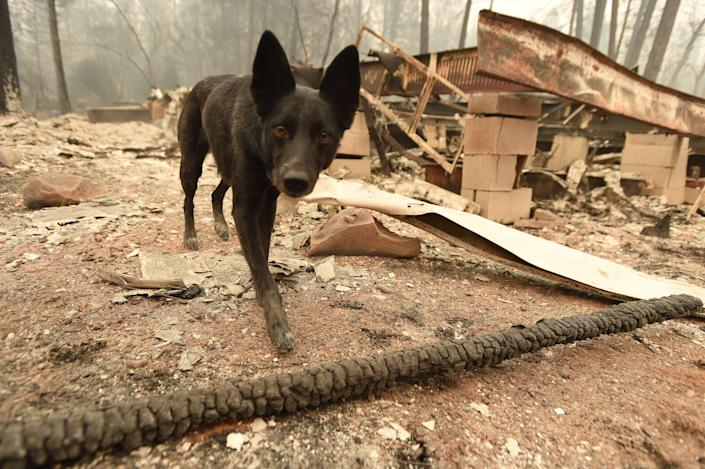 <p>Suzie, a cadaver dog, searches for human remains at burned properties in Paradise, Calif., on Nov. 14, 2018. (Photo by Josh Edelson/AFP/Getty Images) </p>