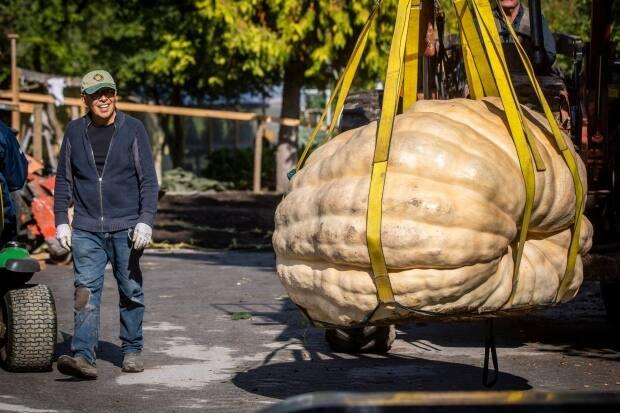 David Chan's 'papa bear' pumpkin was officially weighed at 1911 pounds (866 kilograms) at a giant pumpkin event in Langley B.C. on Saturday, Oct. 2, 2021. It set a new record for the biggest pumpkin grown in the province, according to Giant Pumpkins British Columbia. (Ben Nelms/CBC - image credit)