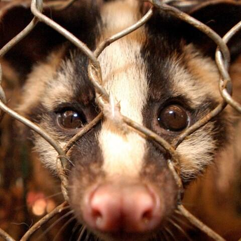 SARS is thought to have jumped from bats to civet cats - Credit: PAUL HILTON/EPA
