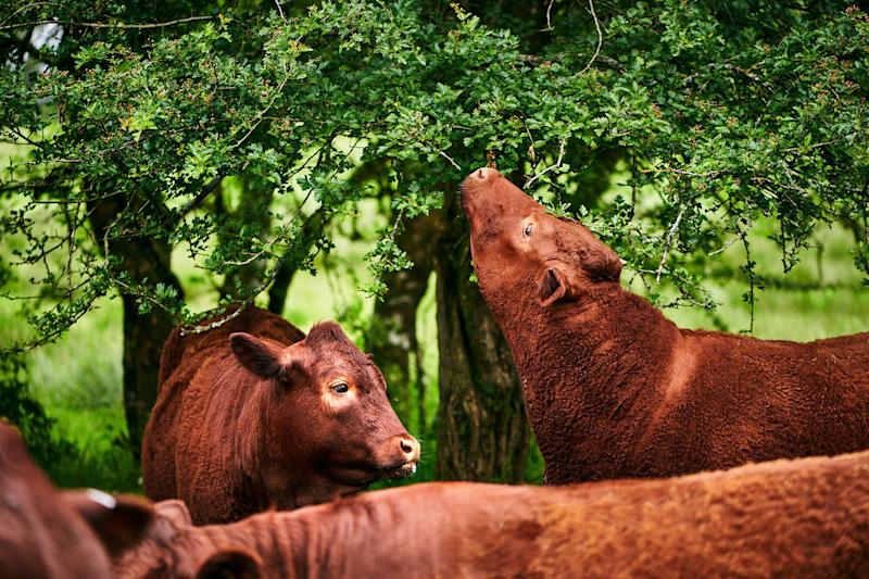 A breed of cow called Red Rubies, which has been bred over centuries to survive on the marshy wetlands in Devon. (Photo: Scott Grummett)