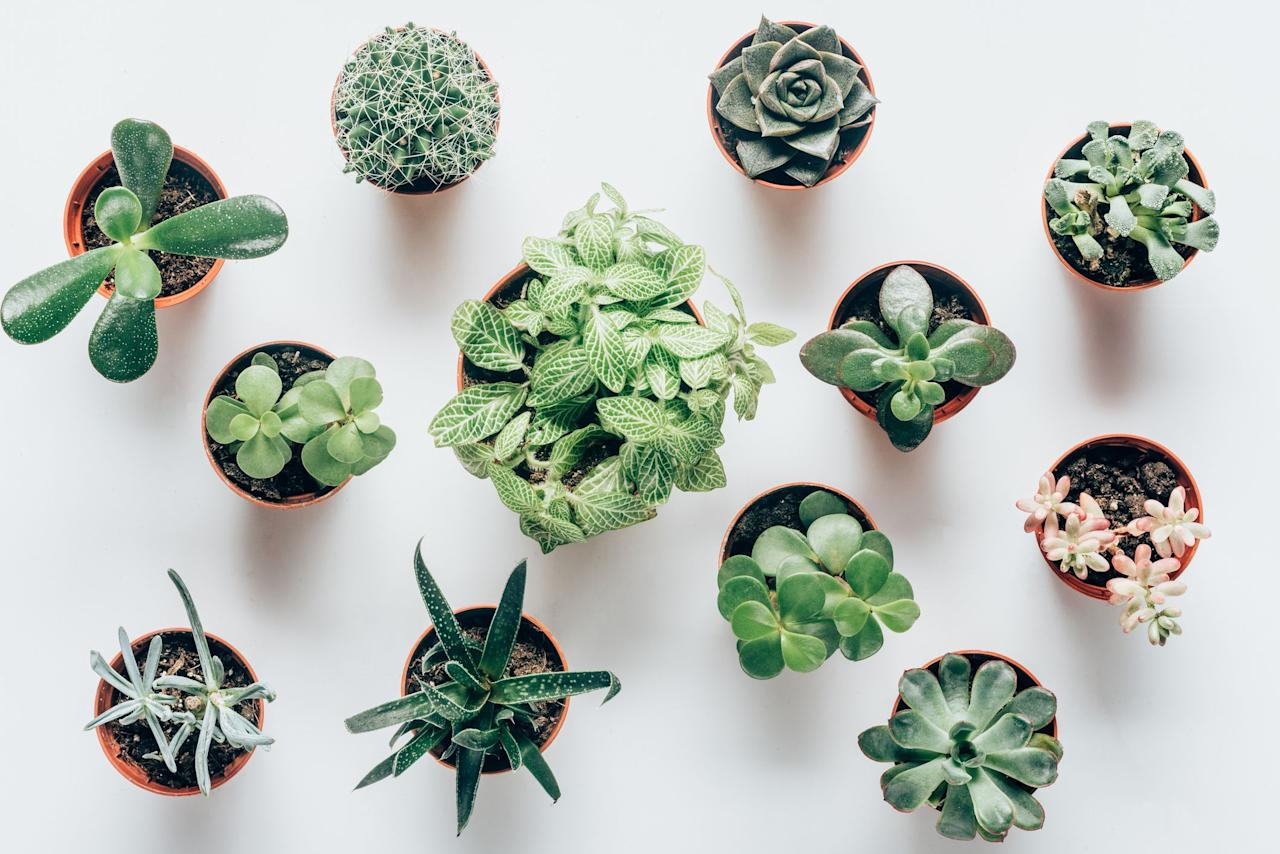 """<p>If it seems like every day there's a <a href=""""https://www.housebeautiful.com/lifestyle/g27409924/succulent-zodiac-sign/"""" target=""""_blank"""">cool new succulent</a> to add to your houseplant collection, it's because there are basically endless varieties of these drought-resistant (and often tiny and adorable!) plants to choose from, as they're found in more than <a href=""""https://www.housebeautiful.com/lifestyle/gardening/g3441/interesting-facts-about-succulents/"""" target=""""_blank"""">60 different plant families</a>. And there are even quite a few popular plants out there that you might not even realize are succulents, like snake plants and ZZ plants. </p><p>In any case, whether you want to add more succulents to your current troupe of plants or you're looking for the right plants to start your <a href=""""https://www.housebeautiful.com/lifestyle/gardening/g2495/indoor-plants/"""" target=""""_blank"""">indoor garden</a>, these are 10 of the most interesting—and some of the most popular—succulents out there. Plus, they represent a wide range of succulent styles, from the waxy leaves of echeveria to the fuzzy ears of the rabbit succulent, alongside surprisingly colorful options like the moonstone succulent. </p>"""