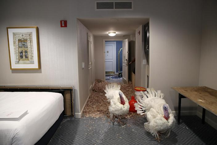 Peas and Carrots, the National Thanksgiving Turkey and its alternate, walk in their hotel room at the Willard InterContinental Hotel after being introduced to members of the media during a press conference held by the National Turkey Federation Nov. 19, 2018, in Washington, D.C. (Photo: Win McNamee/Getty Images)