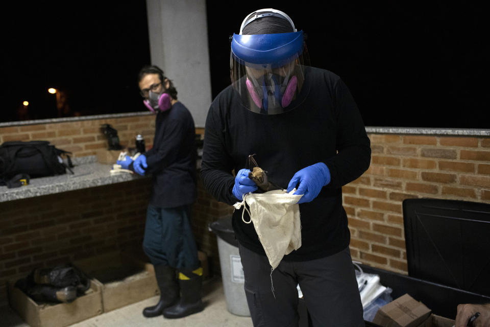A researcher for Brazil's state-run Fiocruz Institute places into a cloth bag a bat captured in the Atlantic Forest at Pedra Branca state park, near Rio de Janeiro, Tuesday, Nov. 17, 2020. Bats are a diverse group, with more than 1,400 species flitting across every continent except Antarctica. (AP Photo/Silvia Izquierdo)