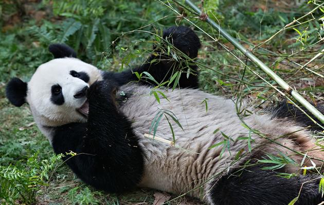Four-year-old Jia Jia loves to munch and sunbathe (Yahoo! Photos)