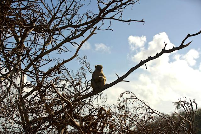 <p>A monkey rests on a tree branch on Cayo Santiago, known as Monkey Island, in Puerto Rico on Oct. 4, 2017. Since 1938, the 400 or so macaques have reproduced and expanded their numbers, becoming the world's most studied free-ranging primate population and something of a living library. (Photo: Ramon Espinosa/AP) </p>