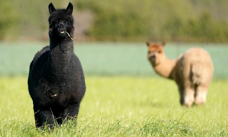 A Scottish alpaca farm is offering up its animals as Zoom party-crashers.