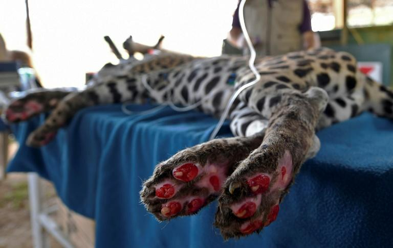 Amanaci, the Jaguar that symbolizes environmental destruction in Brazil wetlands