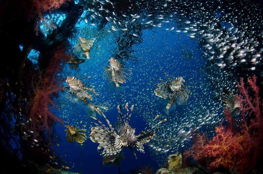 First place in the Wide Angle category went to this Lionfish, a species in the genus Pterois, in the Red sea, taken by Mark Fuller from Israel. CREDIT: Mark Fuller, University of Miami Rosenstiel School of Marine & Atmospheric Science.