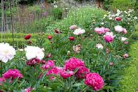 """<p>Peonies are lush, lavish, and sweetly scented, blooming in late May to early June. They're a shrubby perennial that can flower for decades with the right care. Don't plant too deeply or they won't bloom. And don't fret about the ants; <a href=""""https://ipm.missouri.edu/MEG/2018/5/antsOnPeonies/"""" rel=""""nofollow noopener"""" target=""""_blank"""" data-ylk=""""slk:they're just sipping nectar"""" class=""""link rapid-noclick-resp"""">they're just sipping nectar </a>and don't hurt the plant! Need full sun. </p><p>Varieties to try: Festiva Maxima, Sarah Bernhardt</p><p><a class=""""link rapid-noclick-resp"""" href=""""https://go.redirectingat.com?id=74968X1596630&url=https%3A%2F%2Fwww.homedepot.com%2Fp%2FSpring-Hill-Nurseries-Sarah-Bernhardt-Peony-Paeonia-Live-Bareroot-Perennial-Plant-Pink-Flowering-1-Pack-63378%2F312657593&sref=https%3A%2F%2Fwww.housebeautiful.com%2Fentertaining%2Fflower-arrangements%2Fg2411%2Fpopular-flowers-summer%2F"""" rel=""""nofollow noopener"""" target=""""_blank"""" data-ylk=""""slk:SHOP NOW"""">SHOP NOW</a></p>"""
