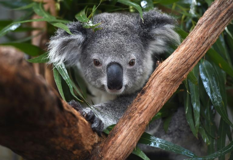A team from Griffith University is attempting to use artificial intelligence to recognise and track individual koalas to determine behaviour