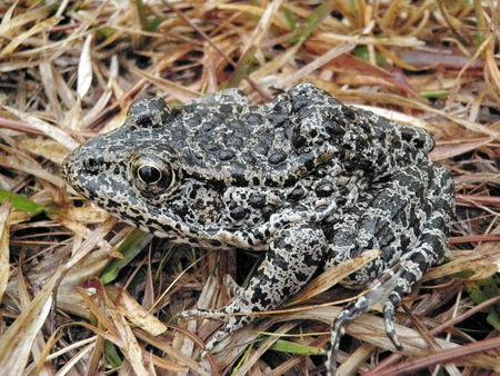 Justices punt dusky gopher frog case to lower court