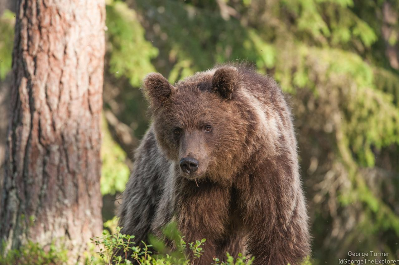 "<p></p><p>Wildlife lovers can squeeze a bear viewing trip into four days. Gane & Marshall has a four-day getaway to one of Europe's premier bear locations, Martinselkosen Wildlife Centre, in Finland. Located close to the Russian border in Suomussalmi, next to the Martinselkonen nature reserve, it's one of the country's best spots to see and photograph brown bears in their natural habitat. You and your guide will stay in a ""hide"" deep in the forest, close to bears and other wildlife. The cost, from £645pp, includes one night at Martinselkosen Wildlife Centre, two nights in the bear hide, breakfast, dinner, guiding and airport transfers. Excludes flights. Available from mid-April to mid-August. <em>[Photo: Getty]</em> </p><p></p>"