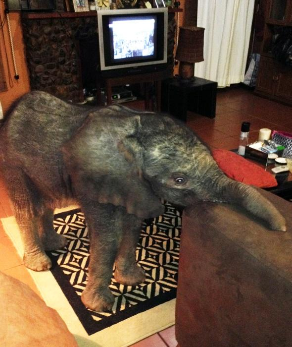 baby-elephant-wanders-into-living-room-lost-south-africa