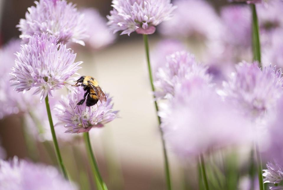 """<p>Violet pom-pom-shaped flowers pop up in chive patches in the early spring months. Plant chives in a pot versus directly in the ground, as they are fast growers and can easily overtake a garden.</p><p><a class=""""link rapid-noclick-resp"""" href=""""https://www.amazon.com/Plants-Post-Chives-4-inch-Herbs/dp/B07DV2XDDC/ref=sr_1_1?tag=syn-yahoo-20&ascsubtag=%5Bartid%7C10050.g.32157369%5Bsrc%7Cyahoo-us"""" rel=""""nofollow noopener"""" target=""""_blank"""" data-ylk=""""slk:SHOP NOW"""">SHOP NOW</a><br></p>"""