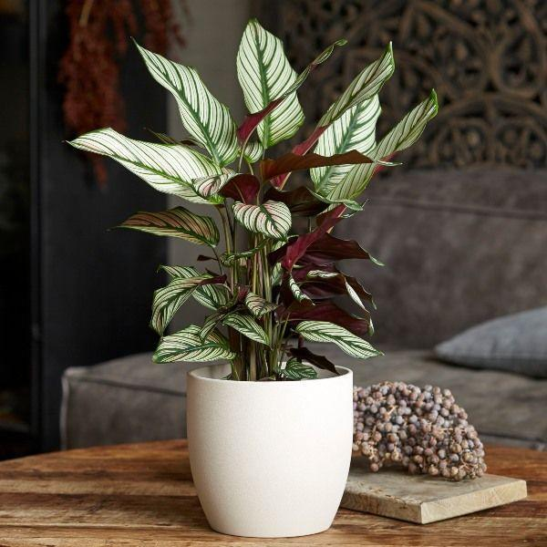 "<p>This stunning plant might be famed for its unique pink tinted leaves, but it's pretty safe for dogs and cats, too. With air-purifying qualities, it's the perfect potted plant for sprucing up an empty corner of your <a href=""https://www.housebeautiful.com/uk/decorate/g35007654/pinterest-2021-home-decortrends/"" rel=""nofollow noopener"" target=""_blank"" data-ylk=""slk:home"" class=""link rapid-noclick-resp"">home</a>. <br></p><p><a class=""link rapid-noclick-resp"" href=""https://go.redirectingat.com?id=127X1599956&url=https%3A%2F%2Fwww.primrose.co.uk%2F-p-130445.html&sref=https%3A%2F%2Fwww.housebeautiful.com%2Fuk%2Fgarden%2Fplants%2Fg35160955%2Fdog-friendly-plants%2F"" rel=""nofollow noopener"" target=""_blank"" data-ylk=""slk:BUY NOW VIA PRIMROSE"">BUY NOW VIA PRIMROSE</a> </p>"