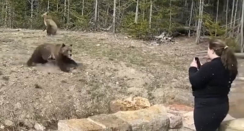 A Sceenshot of a video snowing a woman taking photos of a bear at Yellowstone National Park as the grizzly bluff charges her. Source: Storyful