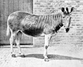 """<p>The Quagga was native to South Africa and went extinct in the late 19th century. For a long time, the quagga was thought to be its own species before it was discovered that it was closely related to the Plains Zebra and was, in fact, a subspecies of the zebra.</p><p>Quagga's were interesting in appearance quite literally looking the mashup between two animals—a zebra in the front thanks to the famous zebra stripes adorning this part of its body, and a horse in the rear due to the lack of stripes in this area.</p><p>Scientists are trying to resurrect the quagga and have seen some success via <a href=""""https://www.cnn.com/2016/01/25/africa/quagga-project-zebra-conservation-extinct-south-africa/index.html"""" rel=""""nofollow noopener"""" target=""""_blank"""" data-ylk=""""slk:reverse engineering by selectively breeding zebras"""" class=""""link rapid-noclick-resp"""">reverse engineering by selectively breeding zebras</a> (who carry quagga genes).</p><p><strong>Cause of Extinction:</strong> humans hunted the quagga to extinction.</p>"""